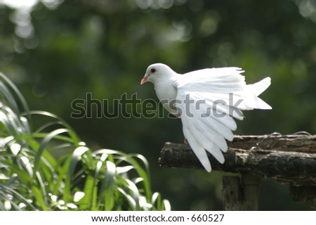 A white pigeon stretching its wings