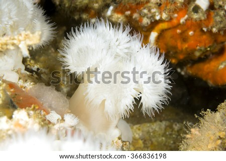 A white plume anemone on a deep reef in California's Channel Islands found in cold water. - stock photo