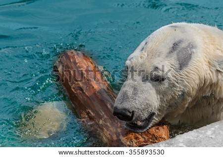 A white polar bear swimming and playing with a log in the water - stock photo