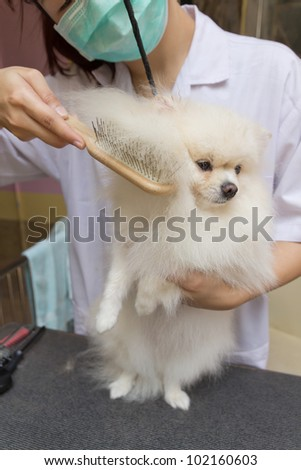 a white pomeranian after shower with brush
