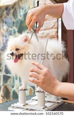 a white pomeranian is cutting - stock photo