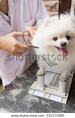 a white pomeranian smile is cutting - stock photo