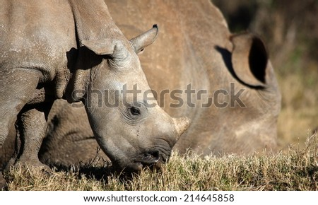 A white rhino calf and her mother in golden light.