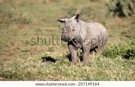 A white rhino calf in this lovely portrait image. South Africa. - stock photo