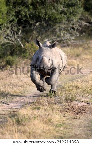 A white rhino calf on the charge and having a run in this lovely portrait image. South Africa. - stock photo