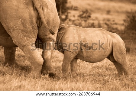A white rhino calf suckling/drinking in this image. - stock photo