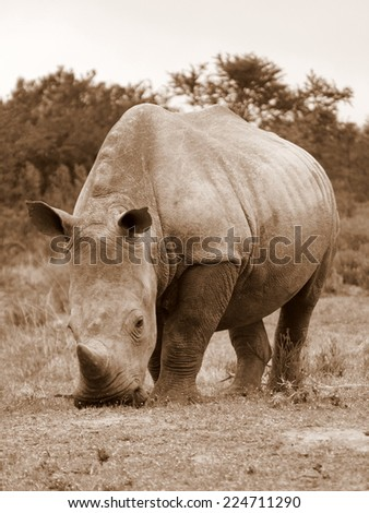 A white rhino grazing in this sepia tone image - stock photo