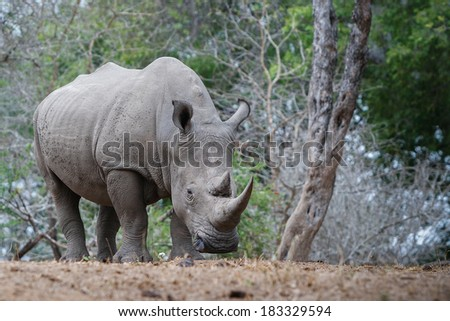 A white rhino rests in the shade. Rhinos are being heavily persecuted in South Africa by poachers for their horns which are literally worth more than their weight in gold. - stock photo