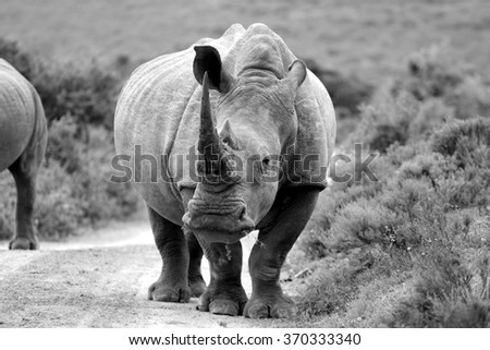 A white rhino / rhinoceros about to charge, as he stands staring on a safari path in South Africa