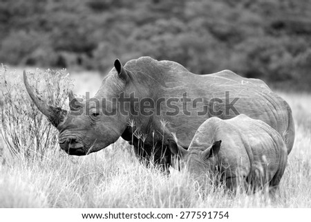 A white rhino / rhinoceros and her calf in this black and white image taken in South Africa - stock photo