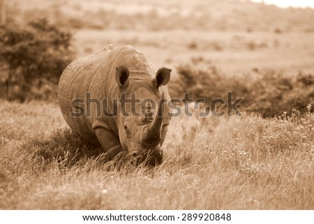 A white rhino / rhinoceros approaches in South Africa - stock photo