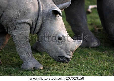 A white rhino / rhinoceros calf in this lovely portrait image. South Africa. - stock photo