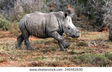 A white rhino / rhinoceros calf on the charge and having a run in this lovely portrait image. South Africa. - stock photo