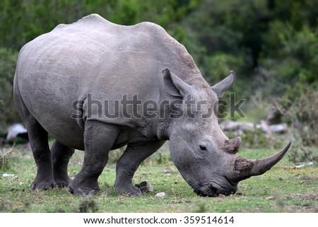 A white rhino / rhinoceros grazing in an open field in South Africa - stock photo