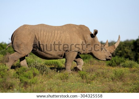A white rhino / rhinoceros on the charge in an open field in South Africa - stock photo