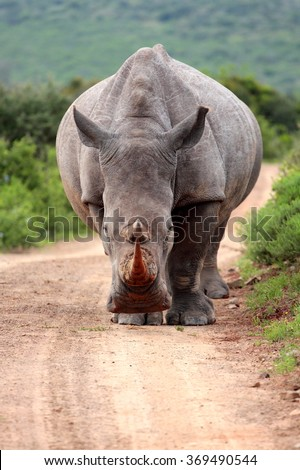 A white rhino / rhinoceros walking down a gravel road in a game reserve in South Africa - stock photo