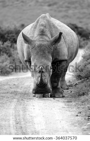 A white rhino / rhinoceros walking down a road in a game reserve in South Africa - stock photo