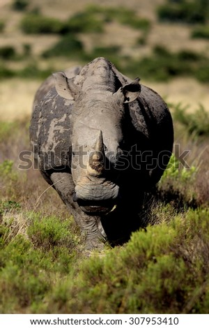 A white rhino / rhinoceros walking towards me in an open field in South Africa - stock photo