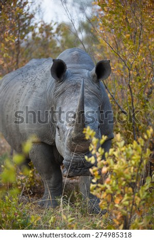 A white rhino standing in the bushes, facing the camera - stock photo