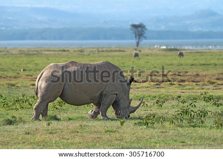 A white rhinoceros (Ceratotherium simum) grazing in national park Lake Nakuru, Kenya - stock photo