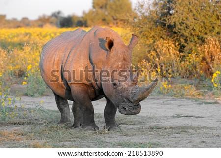 A white rhinoceros (Ceratotherium simum) in natural habitat, South Africa - stock photo