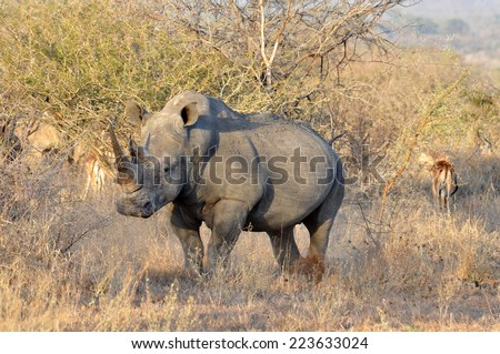 A White Rhinoceros (Ceratotherium simum) in the Kruger National Park, South Africa