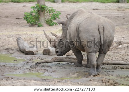 A White Rhinoceros (Ceratotherium Simum) Walking through the Mud.