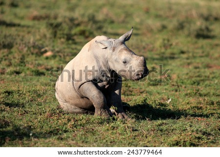 A white rhinoceros / rhino calf in this beautiful side on image.. - stock photo