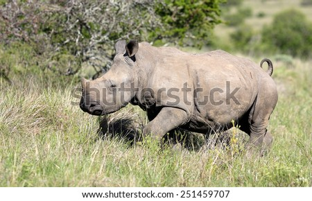 A white rhinoceros / rhino calf in this beautiful side on image..