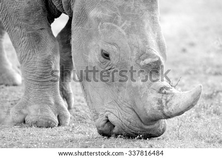 A white rhinoceros / rhino walking and grazing. Photo taken on safari in South Africa - stock photo