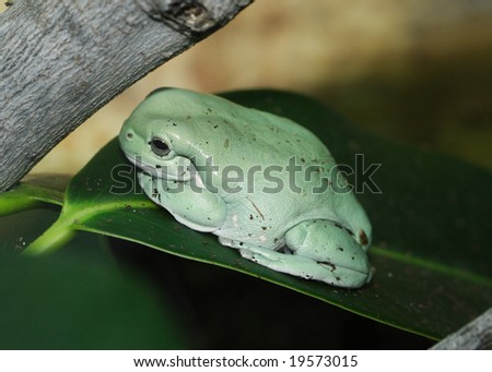 A white's Treefrog sitting on a branch under a tree - stock photo