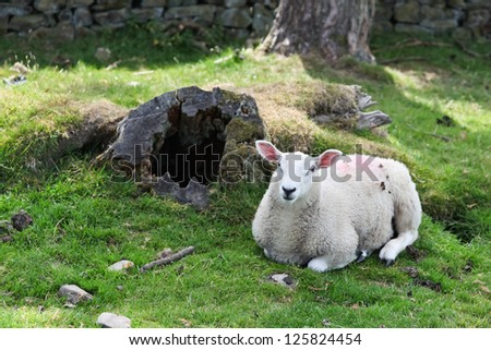 A white sheep laying down on a grassy hillside next to an old hollowed out tree trunk. - stock photo