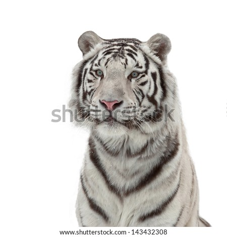 A white snowy bengal tiger isolated on white background - stock photo