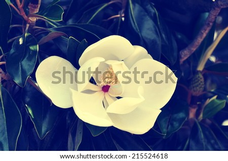 A White Southern Magnolia Blossom (Magnolia grandiflora), the Louisiana State Flower, with instagram-type filter applied for vintage look. - stock photo