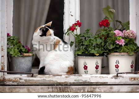 A white/spotted cat on an old window with flowerpots and vases. - stock photo