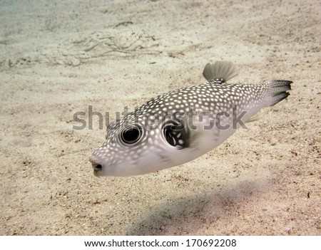 A white spotted pufferfish hunting on sand stock photo for Puffer fish sand art