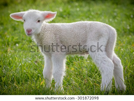 a white suffolk lamb, a few days old, standing on the grass - stock photo
