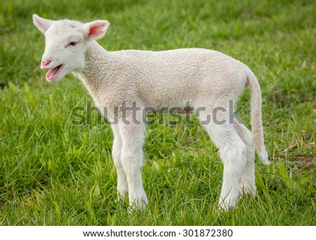 a white suffolk lamb, a few days old, standing on the grass, bleating - stock photo