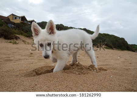 A White Swiss Shepherd puppy digs a whole while playing on the beach in South Africa - stock photo