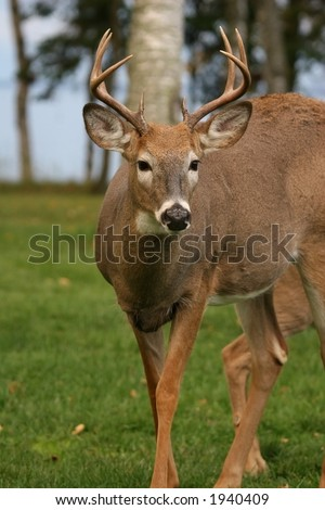 a white tail buck - stock photo
