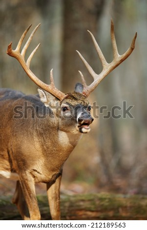A white-tailed buck exhibiting lip curling behavior
