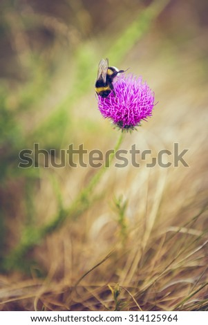 A white-tailed bumblebee (Bombus lucorum) feeding on a purple thistle flower nectar. Pollination. Toned colors. - stock photo