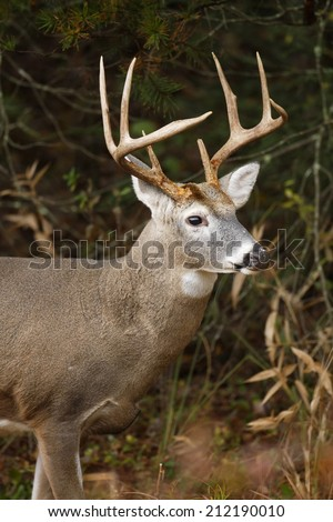 A White-tailed deer - stock photo