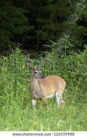 A White Tailed Deer Buck standing in a field at the edge of a forest in the Great Smoky Mountains