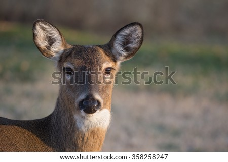 A white-tailed deer doe in Jefferson Barracks National Cemetery in St. Louis, Mo.