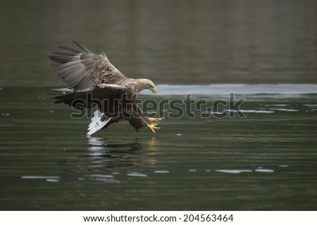 A White-tailed eagle a millisecond before making a kill - its prey is just inches away and its fate is sealed. - stock photo