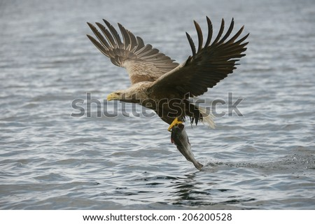 A White-tailed eagle drags a large meal from the surface of a deep Norwegian fjord.