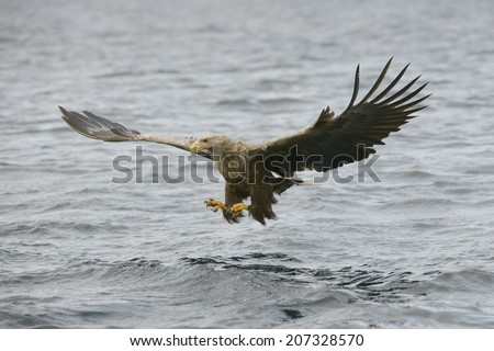 A White tailed Eagle hunting off the Norwegian coast about snatch a meal from the water of a deep Norwegian fjord.