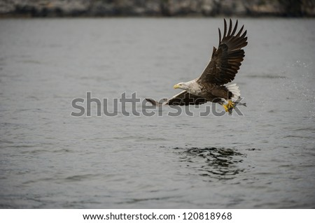 A White-tailed Eagle plucks a Coal fish from the cold gray waters off the Norwegian coast. - stock photo