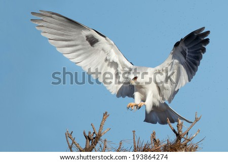 A White-tailed Kite coming to a landing. - stock photo